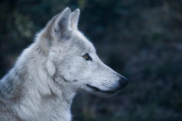 wolf-2878633_640